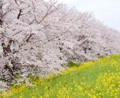 熊谷市の桜と菜の花