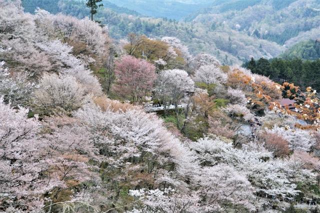 満開の桜がたくさんある山の写真