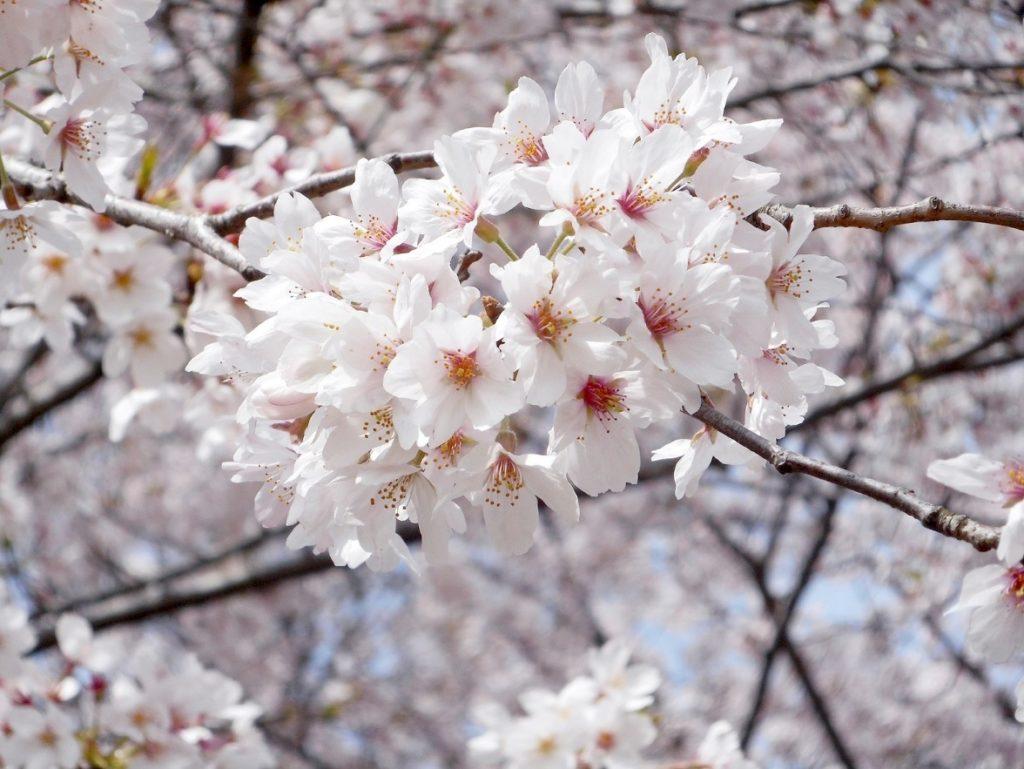 熊谷市の桜をアップにした写真
