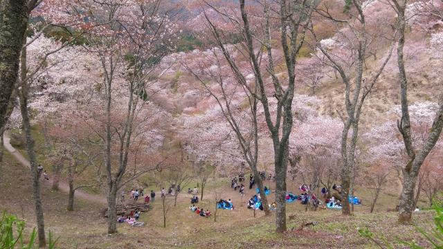 桜林の中でお花見している写真