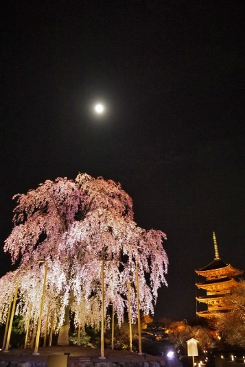 夜の東寺と桜の写真