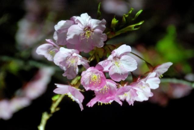 アップになっている夜桜の写真