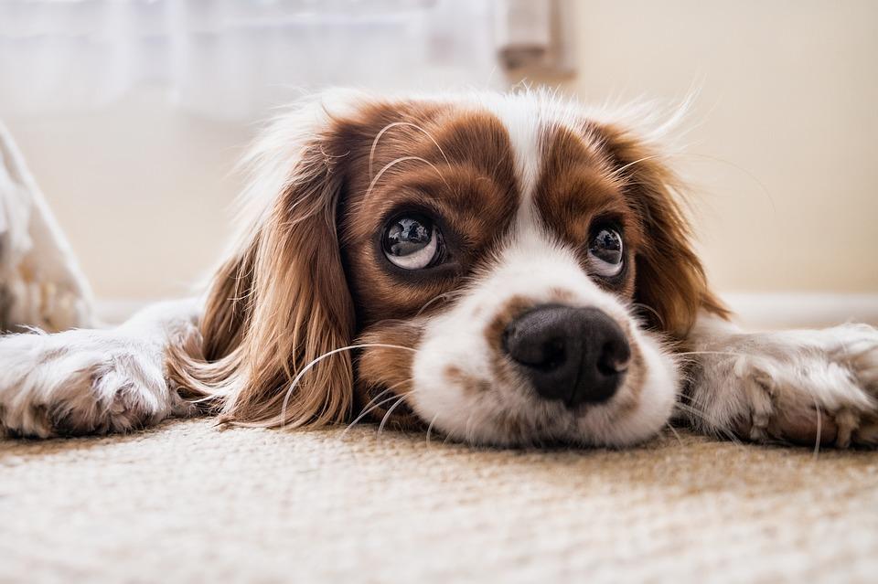 上目遣いな犬の写真