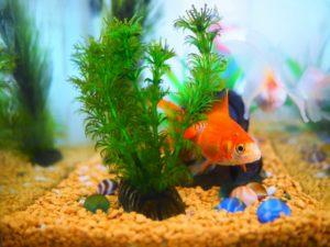水槽の中の金魚の写真