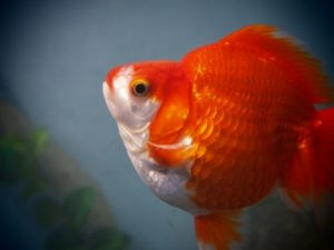 金魚の写真